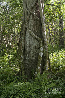 Strangler Fig And Cypress Tree, Florida Poster