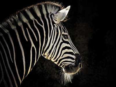 Striped Poster by Animus Photography