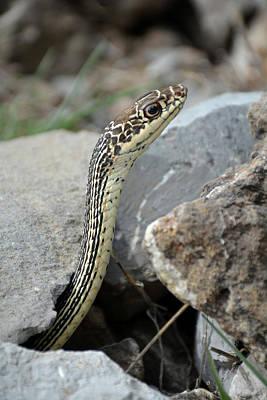 Striped Whipsnake, Masticophis Taeniatus Poster