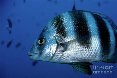 Striped Zebra Seabream Swimming In Blue Waters Poster by Sami Sarkis