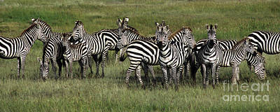 Stripes - Serengeti Plains Poster by Craig Lovell