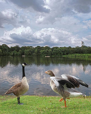 Strutting Their Stuff - Geese At The Lake Poster
