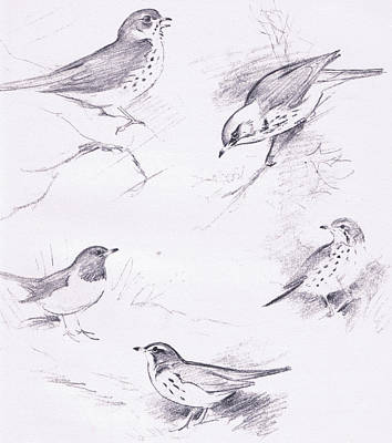 Study Of Thrushes Poster