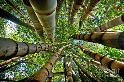 Stunning Bamboo Forest - Color Poster by Carlos Alkmin