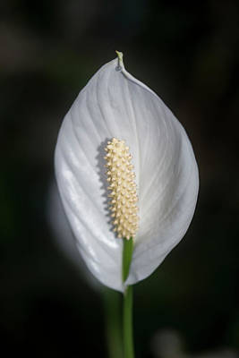 Stunning Calla Lily Zantedeschia Aethiopica Flower In Bloom Poster