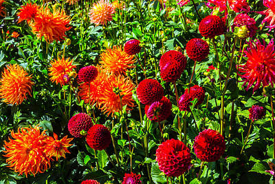 Stunning Dahlias Poster by Garry Gay