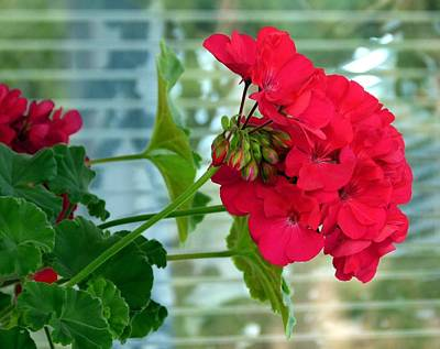 Stunning Red Geranium Poster by Will Borden