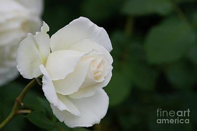 Stunning White Tineke Rose Poster