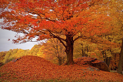 Sturdy Maple In Autumn Orange Poster