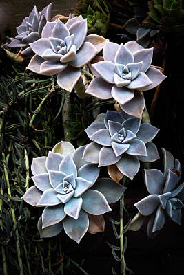 Poster featuring the photograph Succulents Graptopetalum Paraguayense     by Catherine Lau