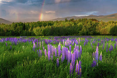 Sugar Hill Lupines Poster by Bill Wakeley