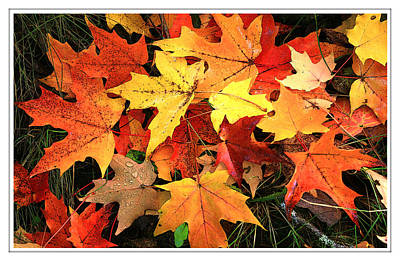 Sugar Maple Poster