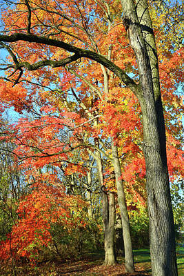 Poster featuring the photograph Sugar Maple Stand by Ray Mathis