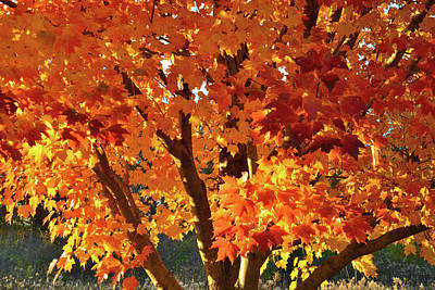 Poster featuring the photograph Sugar Maple Sunset by Ray Mathis