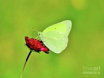 Sulphur Butterfly On Knautia Poster