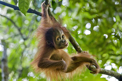 Sumatran Orangutan Pongo Abelii Baby Poster by Suzi Eszterhas