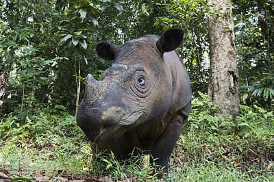 Sumatran Rhinoceros Sumatran Rhino Poster