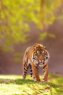 Sumatran Tiger Walking Forward Poster
