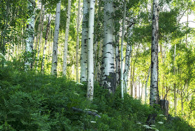 Poster featuring the photograph Summer Aspen Forest by Tim Reaves
