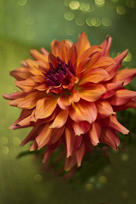 Summer Dahlia D7485 Poster by Wes and Dotty Weber