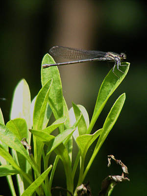 Poster featuring the photograph Summer Damselfly by Margie Avellino