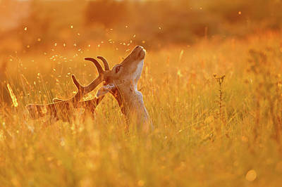Summer Mood - Fallow Deer On A Summer Evening Poster by Roeselien Raimond
