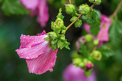 Summer Rain Rose Of Sharon Poster by Terry DeLuco