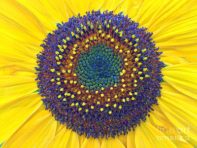 Summer Sunflower Poster by Todd Breitling