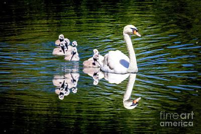 Summer Swans Poster