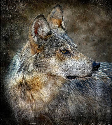 Summertime Coated Wolf Poster by Elaine Malott