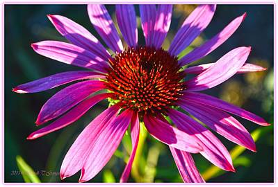 Sun And Shadow On Coneflower Poster