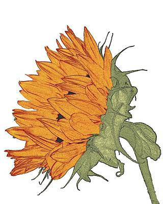 Sun Flower Study Poster