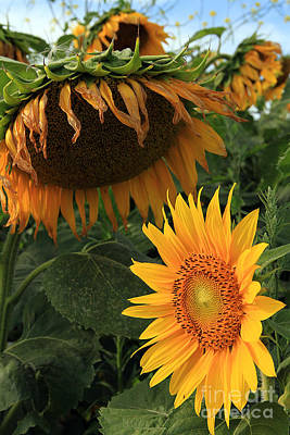 Poster featuring the photograph Sun Flowers  Past  And  Present  by Paula Guttilla