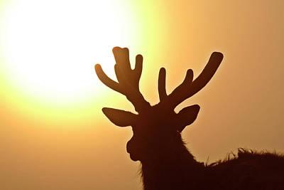 Sun Glaring Over A Bull Elk Poster