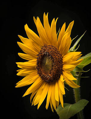 Sunflower From Birds Food Poster by Lisa Bell