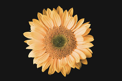 Sunflower #6 Poster