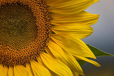 Sunflower Abstract Poster by Dale Kincaid