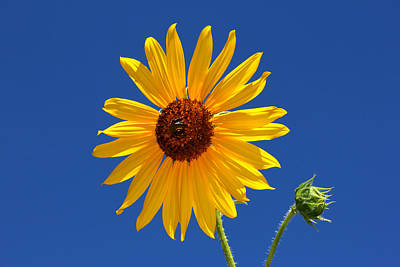 Sunflower Against Blue Sky Poster