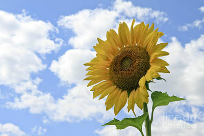 Sunflower And Clouds Poster by Teresa Zieba