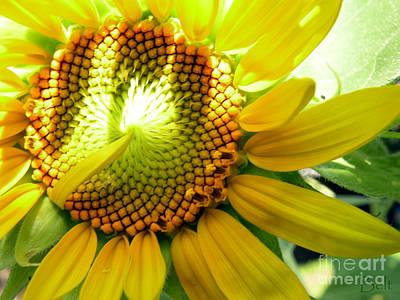 Sunflower At Snickerhaus Garden Poster by Christine Belt
