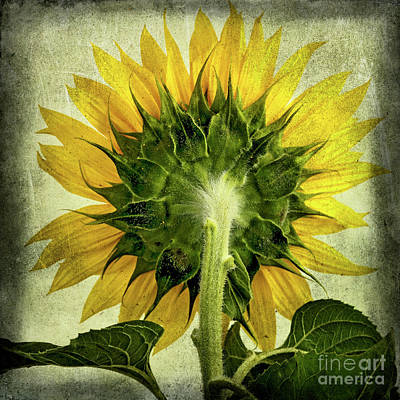 Sunflower Poster by Bernard Jaubert