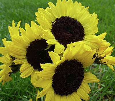 Sunflower Bouquet Poster by Aimee L Maher Photography and Art Visit ALMGallerydotcom