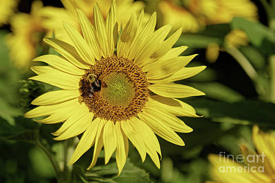Sunflower Bumble Poster