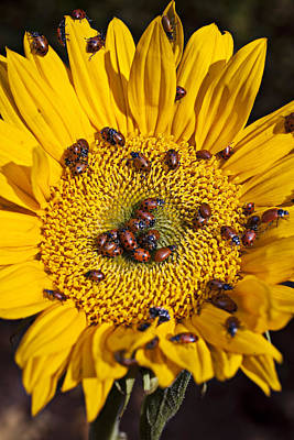 Sunflower Covered In Ladybugs Poster