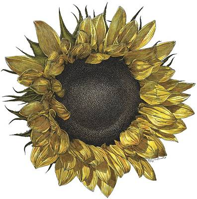 Sunflower Drawing In Color Poster