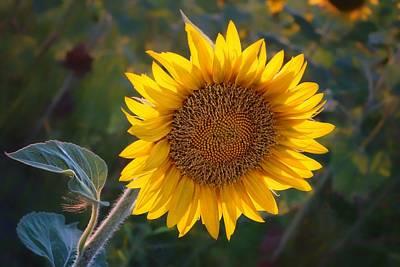 Sunflower - Facing East Poster