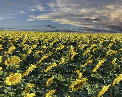 Sunflower Field - 2 Poster by Art OLena