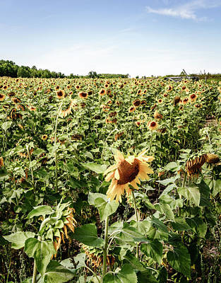 Poster featuring the photograph Sunflower Field by Alexey Stiop