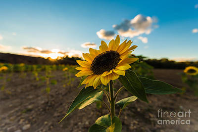 Sunflower Field Poster by Alissa Beth Photography