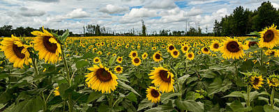 Sunflower Field Panoramic Poster by Dale Kincaid